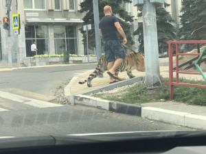 Самарцы наблюдали, как  на улице Молодогвардейской мужчина на поводке выгуливал тигра