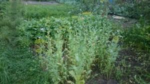 Житель Сызранского района выращивал мак на приусадебном участке