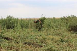В Волжском районе полицейские уничтожили заросли дикорастущей конопли