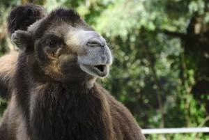 В ДТП Range Rover с верблюдом в Казахстане погибли пять человек