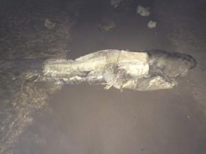 В Самаре на Красноармейском спуске рыбак нашел огромную разделанную тушу сома