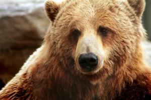 В Воронежской области сбежавший от владельца медведь убил 84-летнего местного жителя