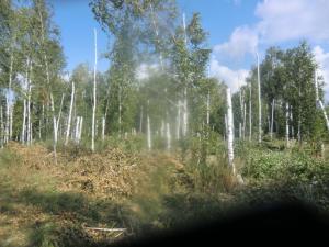 В Красноярском районе молодой человек незаконно спилил 16 берез на дрова, чтобы топить баню