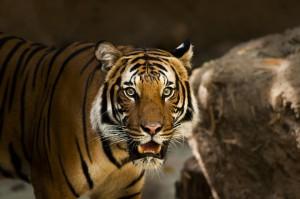 В Самарском зоопарке откроется новый вольер для амурских тигров - Кактуса и Касандры