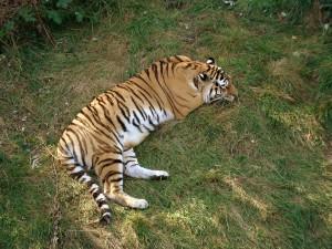 В Самарском зоопарке  состоялось торжественное открытие нового вольера для амурских тигров — Кактуса и Касандры