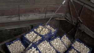 На овощной базе в Самаре была обнаружена партия шампиньонов, запрещенная к ввозу на территорию РФ