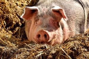 В Самарской области опять обнаружена африканская чума свиней