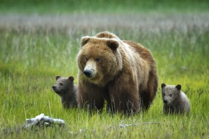 Миллионера из Сызрани едва не загрыз медведь на Камчатке