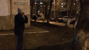 В Самаре по 14 микрорайону ночью гуляла корова