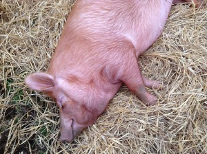 В селе Красноармейское сожгли 641 свинью в связи с АЧС