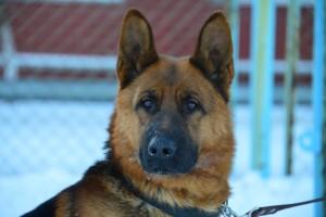 В Самарской области служебная собака помогла полицейским раскрыть грабеж