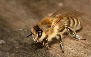 Обнаружен паразит, лишающий пчел сил и работоспособности