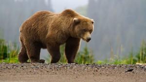 Медведь убил смотрителя маяка на Курилах