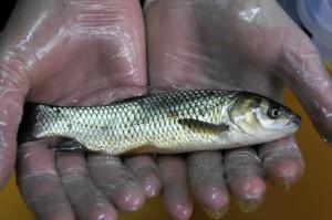 Сызранский НПЗ выпустил в Саратовское водохранилище мальков стерляди и толстолобика