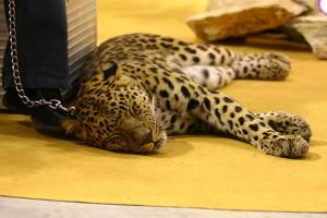 Хозяина контактного зоопарка в Саратове осудили за нападение леопарда на детей
