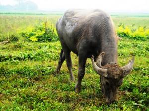 В Таиланде пассажирский поезд сбил стадо буйволов